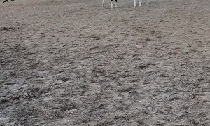 Horses Keep Dog on the Move