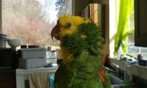 Talented bird sings opera music like a pro
