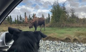 Big Bull Moose Strolls Through Anchorage Roundabout
