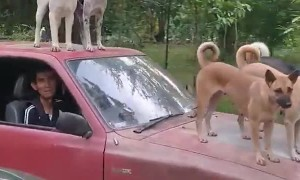 Dogs Hitch a Ride on Pick-Up Hood