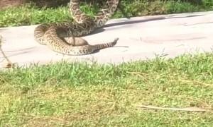 Rattlesnakes on the Sidewalk