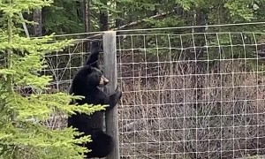 Young Black Bear Finds It's Way Over Fence