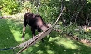 Moose Having Fun With Backyard Hammock