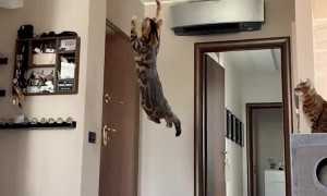 Cat Makes Giant Jump for Balloon