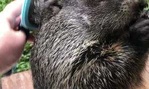 Groundhog Getting Groomed