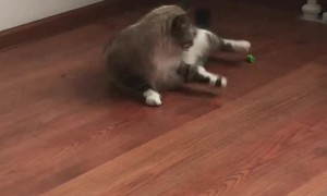 Cat Gets Tired Chasing Toy