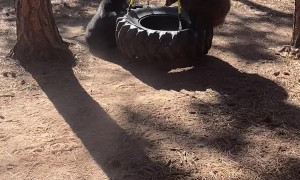 Baby Bears Play on Tire Swing