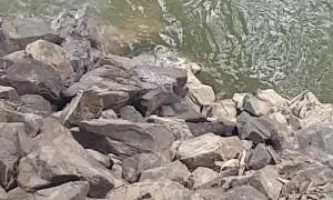 Determined Koala Bear Crosses River