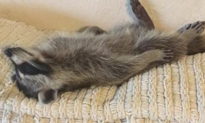 Tuckered Raccoon Lives His Best Life