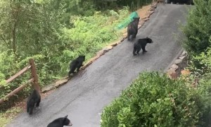 Bear Family Strolls Through North Carolina Neighborhood