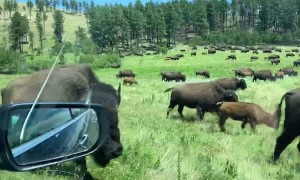 Cars Caught in the Middle of Bison Migration