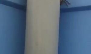 Porta Potty Occupied by Huge Huntsman Spider