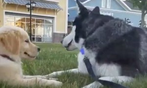 "Siberian Husky ""Talks"" Life Lessons With Golden Retriever Puppy"