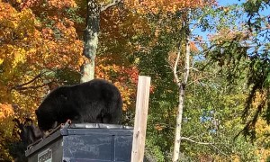 Bear Tries to Break Into Bear Proof Dumpster