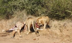 Territorial Lions Roaring over Meal