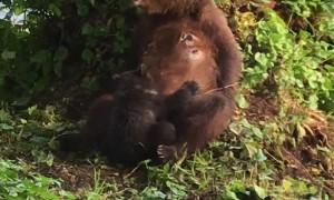 Mama Bear Rests Then Nurses a Cub