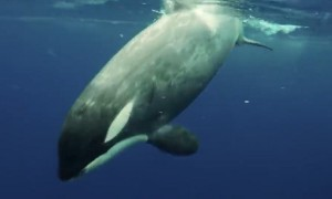 Incredibly Close Encounter With a Killer Orca Whale