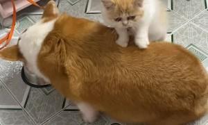 Cat Massages Hungry Corgi