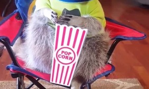 Orphaned Raccoon Enjoys Snacks in Cute Outfits