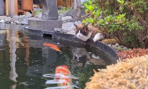 Kitty Chills with Colorful Koi Friends