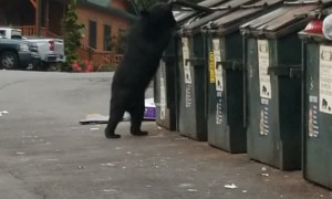 Black Bear Easily Opens Dumpster