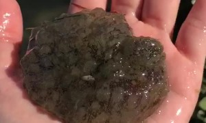 Sea hare was found in Nighthawk Bay in the Upper Laguna Madre
