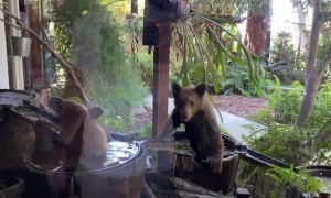 Bear Cubs Cool Off in Barrel Waterfall