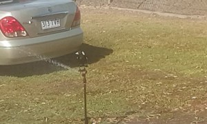 Smart Magpie Uses Sprinkler Keep Cool