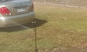 Smart Magpie Uses Sprinkler Keep Cool
