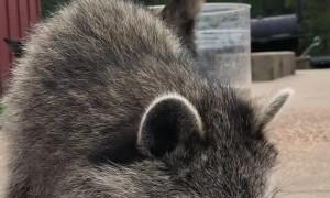 Raccoon Wants to Help Carve Pumpkins