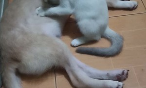 Caring Kitty Massages Sleeping Pal