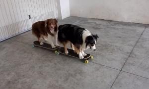 Both Dogs Skateboarding Together