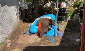 Bear Brings Cubs for a Backyard Swim
