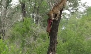 Strong Leopard Carries Deer Carcass Down From Treetops