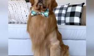 Golden Retriever answers questions with