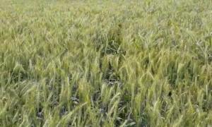 Happy Dog Bounds around in Wheat Crop