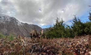 Nosey Moose Checks out Camera