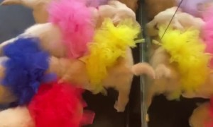 Tutu Wearing Puppies Play With Their Reflection