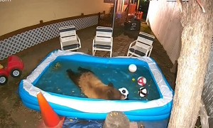 Bear Goes to Pool to Keep Cool