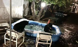 Bears Having a Blast in Backyard Pool