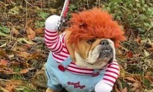 Bulldog Dressed as Chucky Coming For You