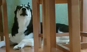 Stubborn husky hides behind chairs while vocally arguing with mom