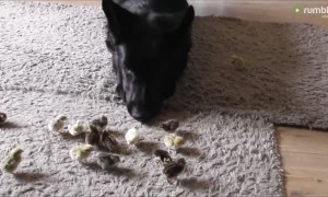 German Shepherd preciously looks over tiny newborn chicks