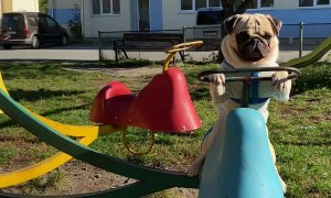 Pug Having Fun Playing on Merry-Go-Round