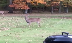 Rambunctious Dog Plays Chase with Mama Deer and Twin Fawns