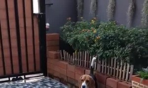 Beagle Doesn't Want Dad to go to Work