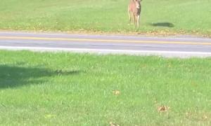 Deer Crossing Road Has a Close Call