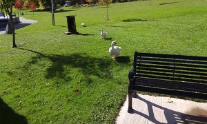 Flock of Geese Love Their Favorite Visitor