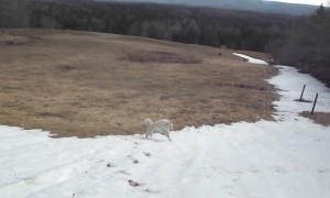 Sheep dog absolutely loves sliding down this snowy hill