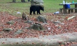 Bear Cub Swipes Cooler